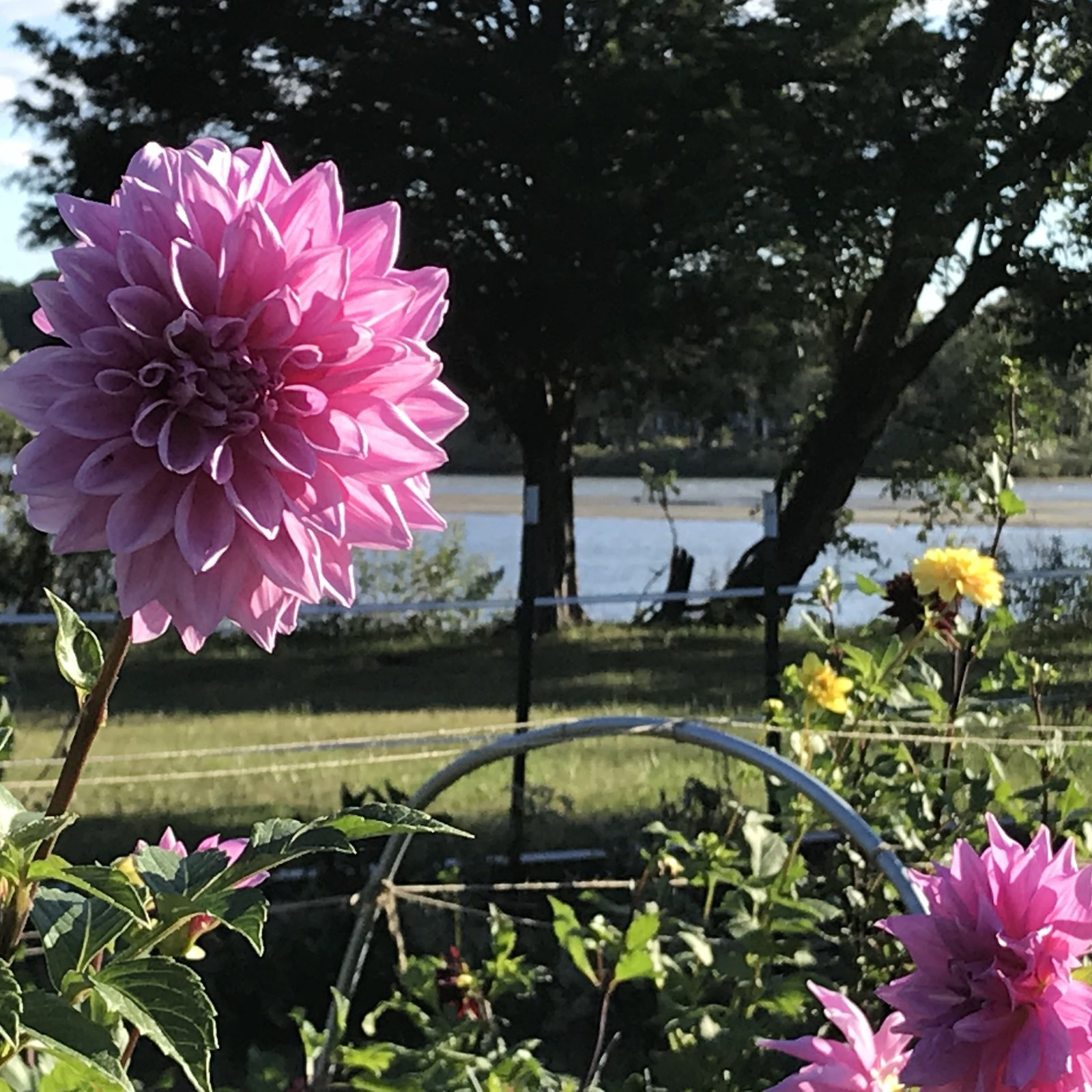 ChesBlooms Dahlias