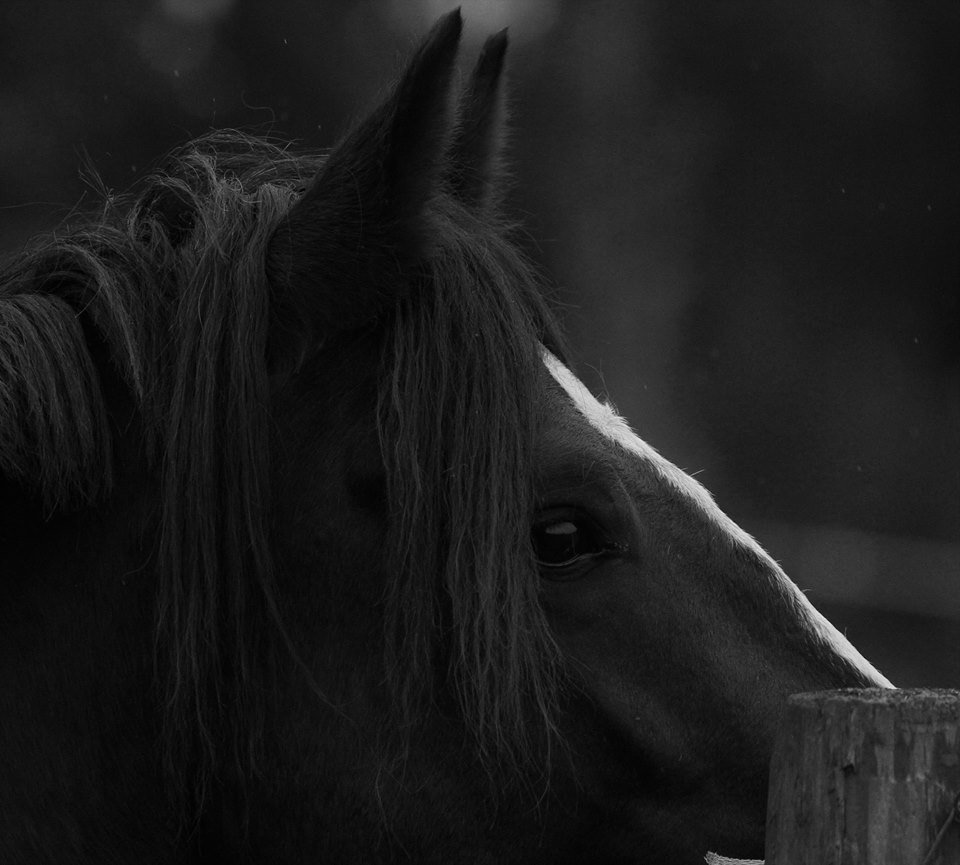 A dark and misty morning, Black Connemara Pony
