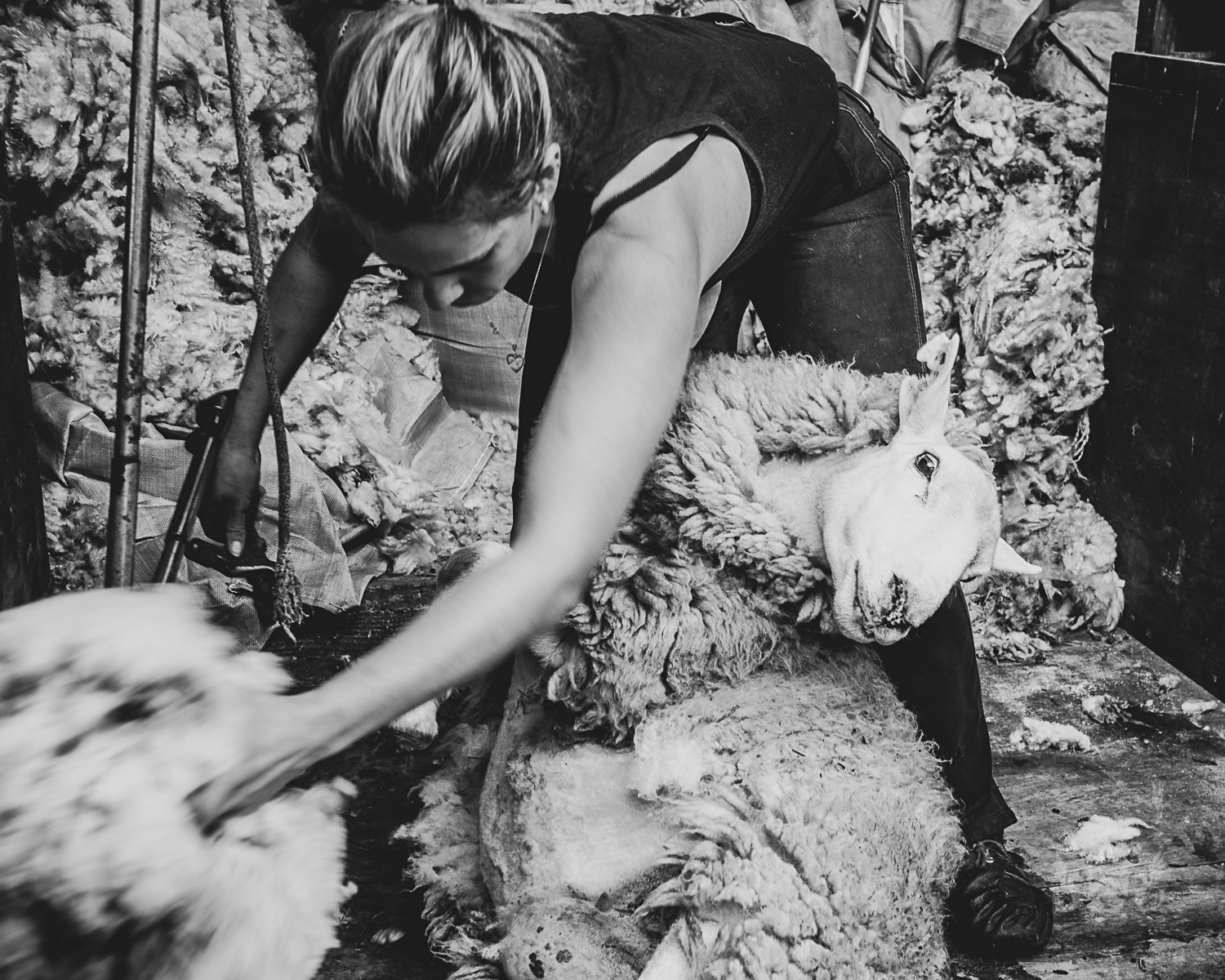 Yeo Female Shearer