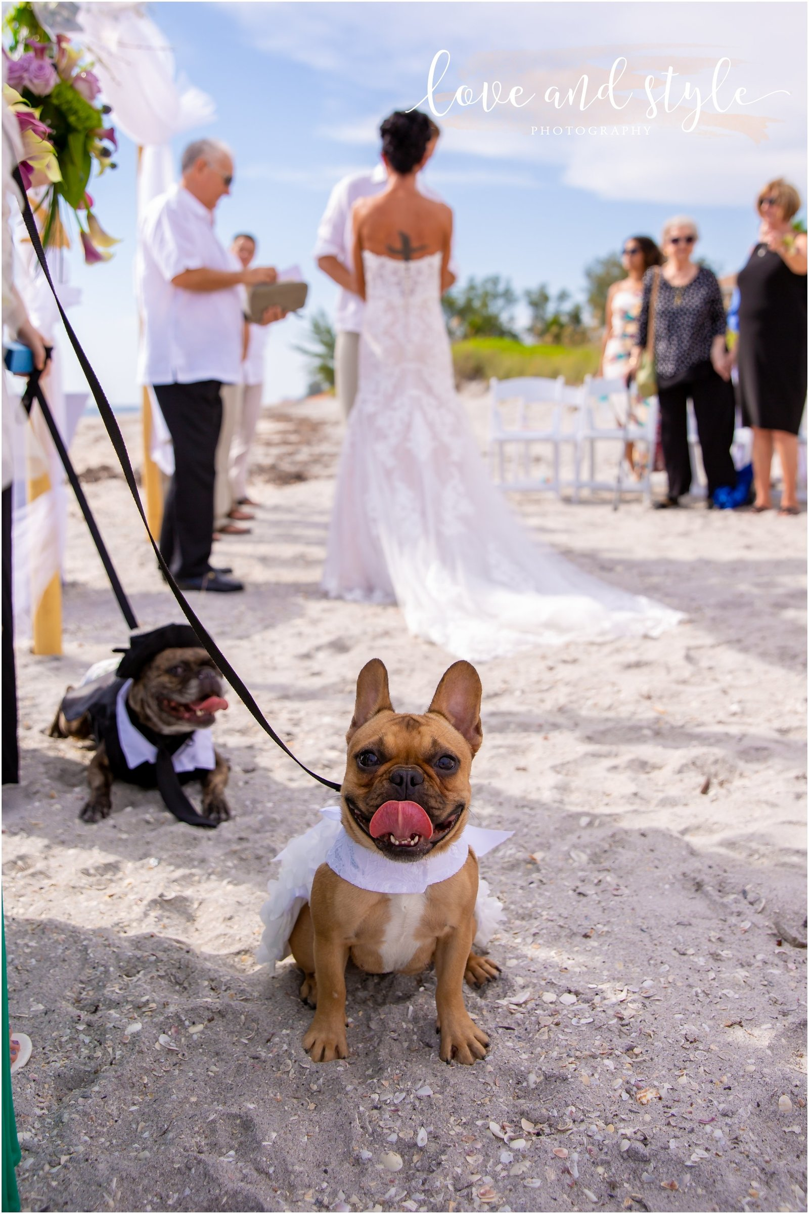 Frenchies as part of the wedding party at Siesta Key Beach