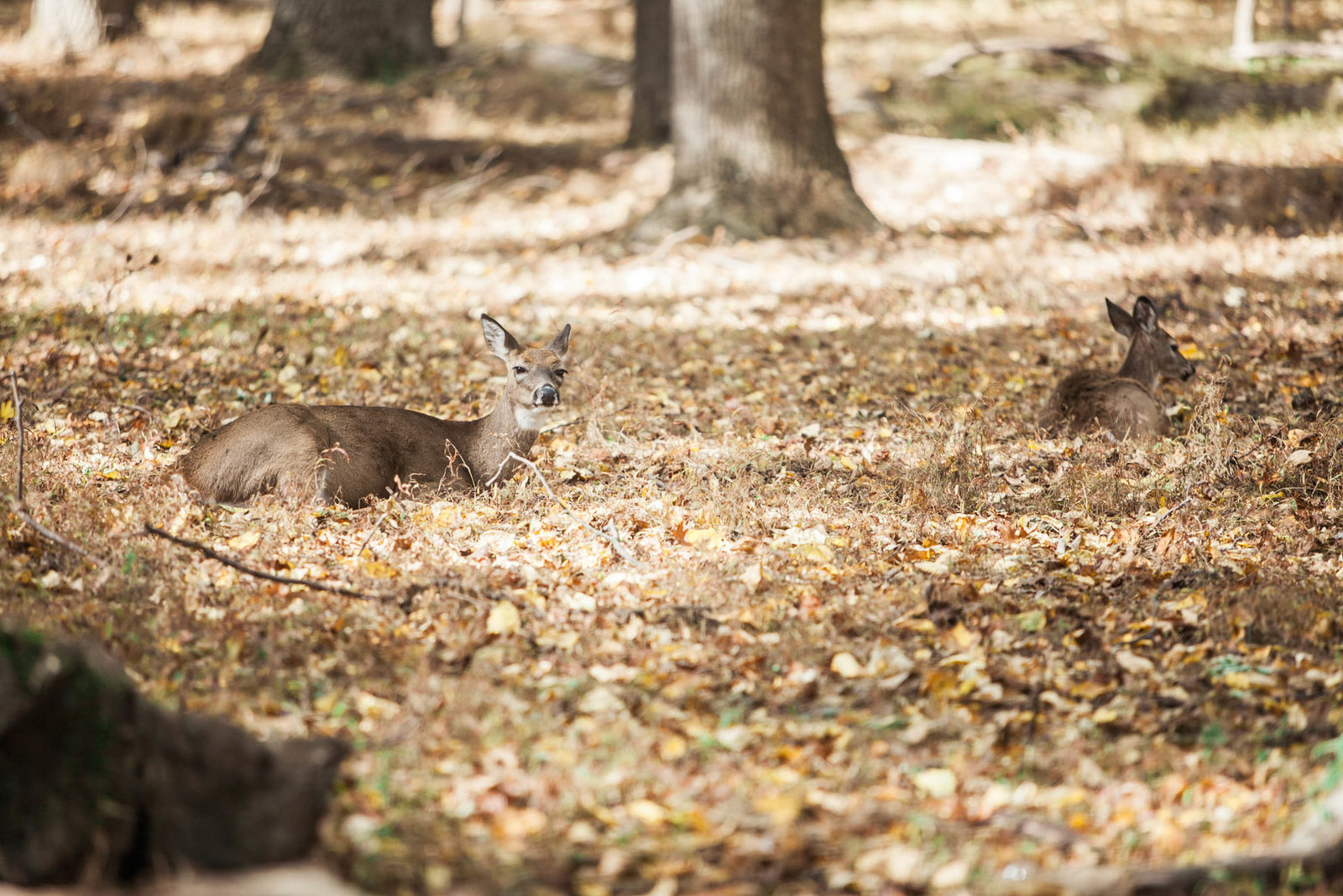 deer-valley-forge-park-pennsylvania-nature-kate-timbers-photography-2390