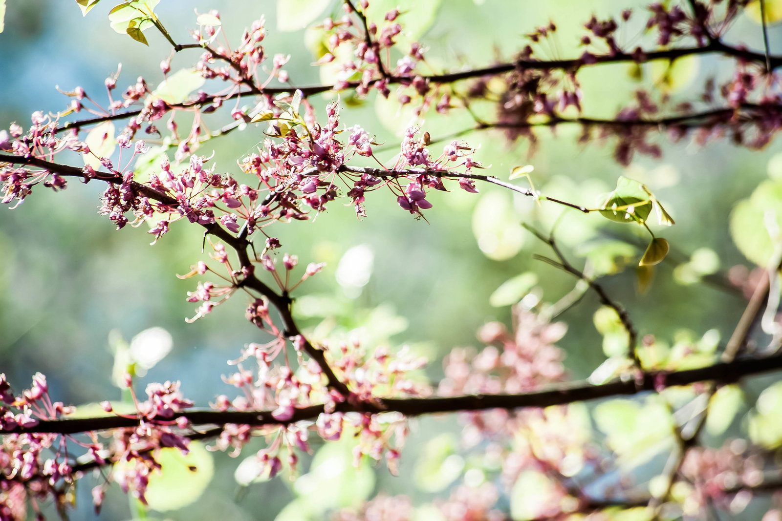 redbud-branch-nature-kate-timbers-photography-1510