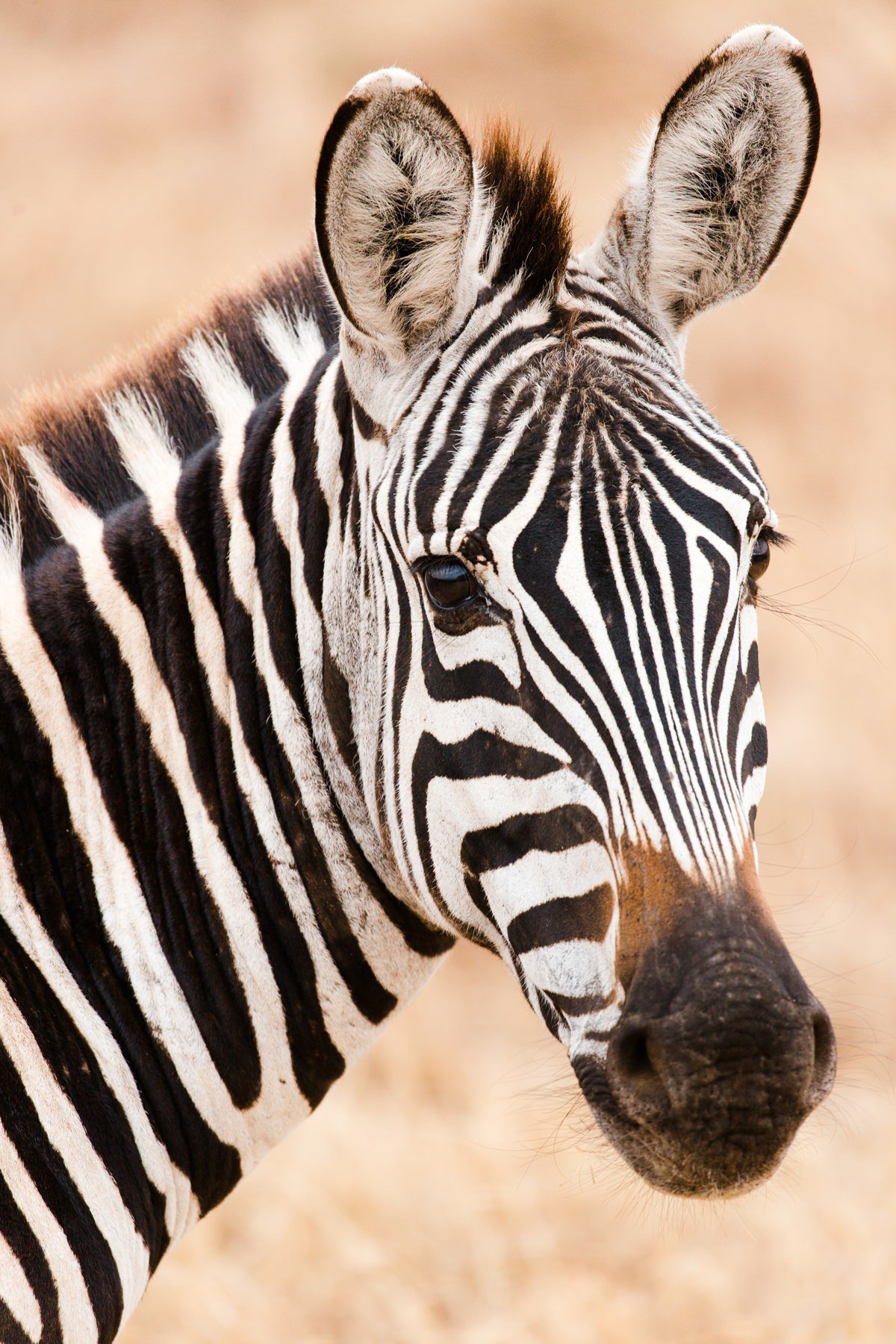cameron-zegers-travel-photographer-tanzania-animal-zebra-portrait