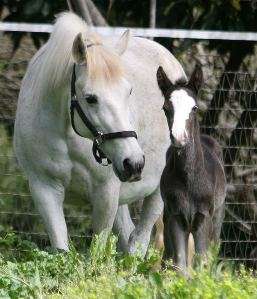 Our Connemara Pony Mare and her unique Connemara Pony Foal