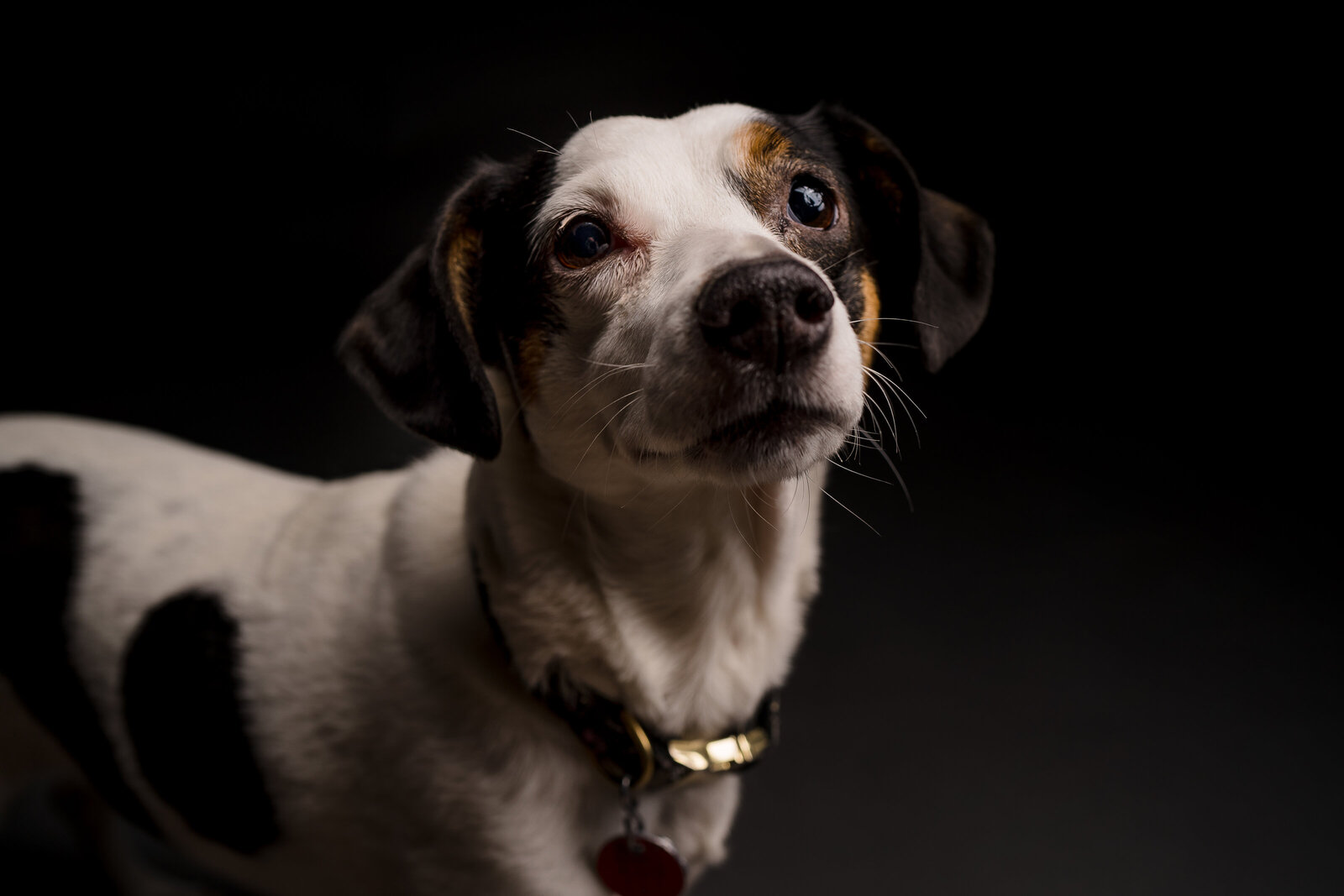 jack russell mix poses for a photo against a black background