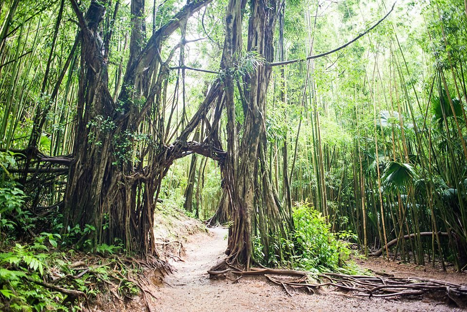 Vines create an arch over the trail to Manoa Falls on Oahu, Hawaii