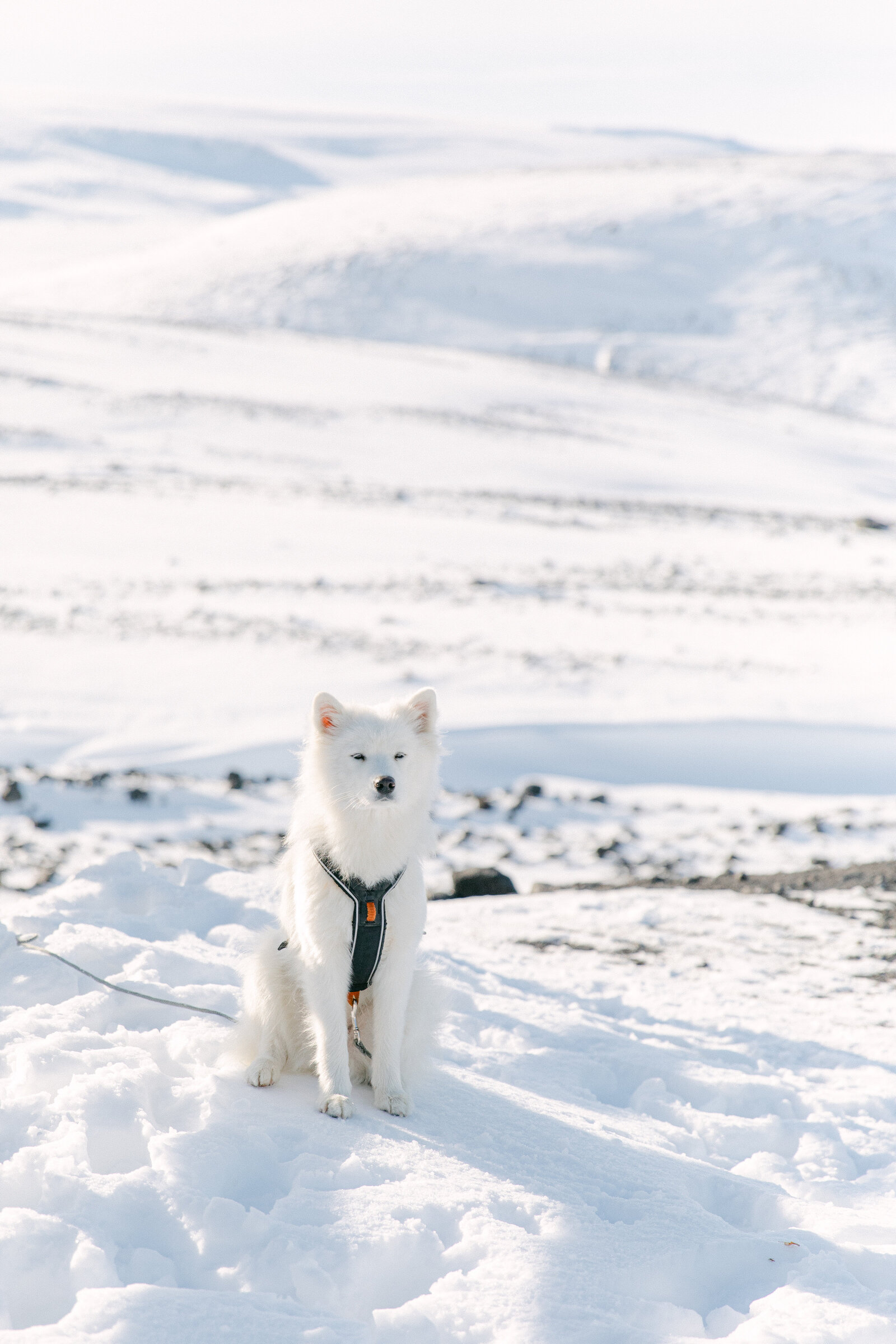 white fluffy dog sitting in snow in iceland on a glacier