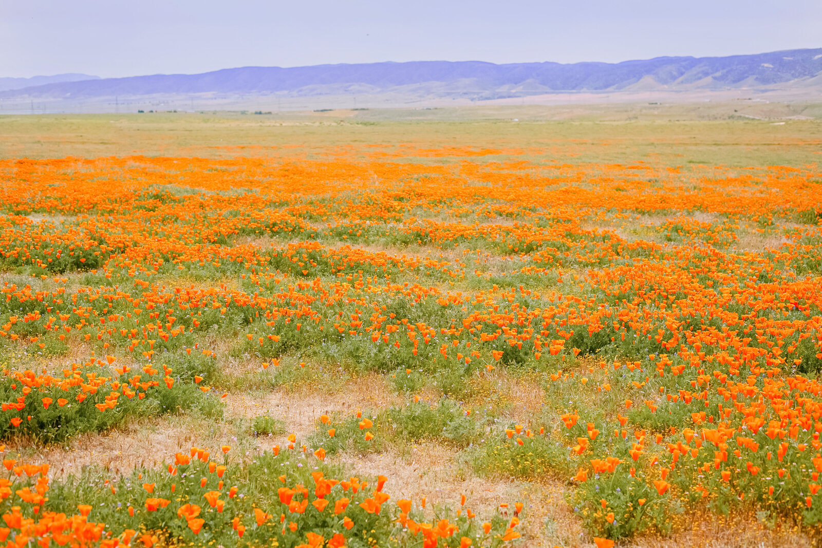 051-KBP-poppies-antelope-valley