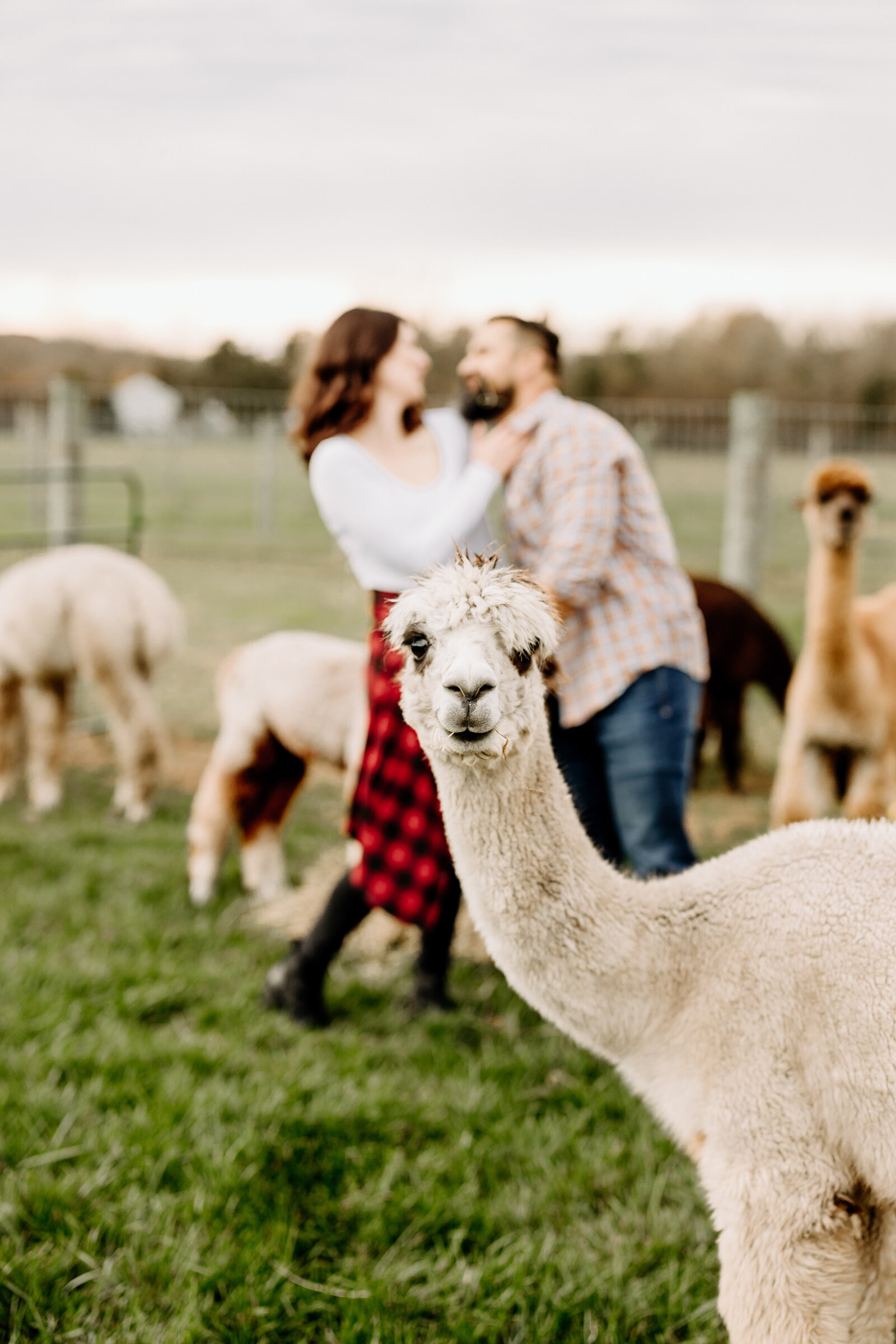 engaged couple alpaca farm