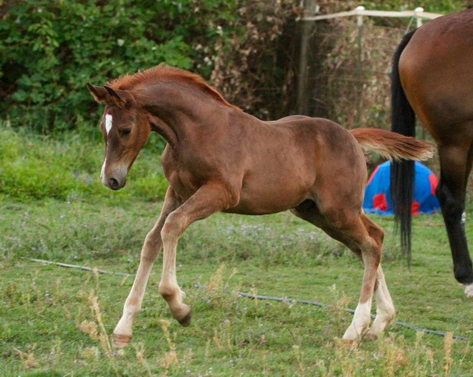 Chesnut with Socks, Connemara Pony, Colt