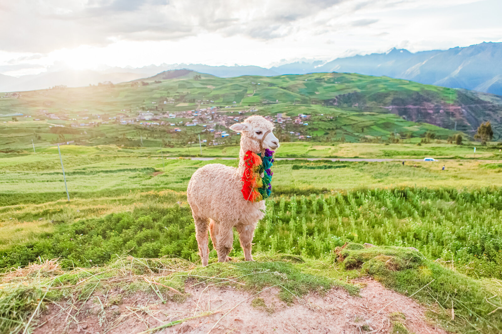 042-KBP-Peru-Cusco-Sacred-Valley-Llamas-004