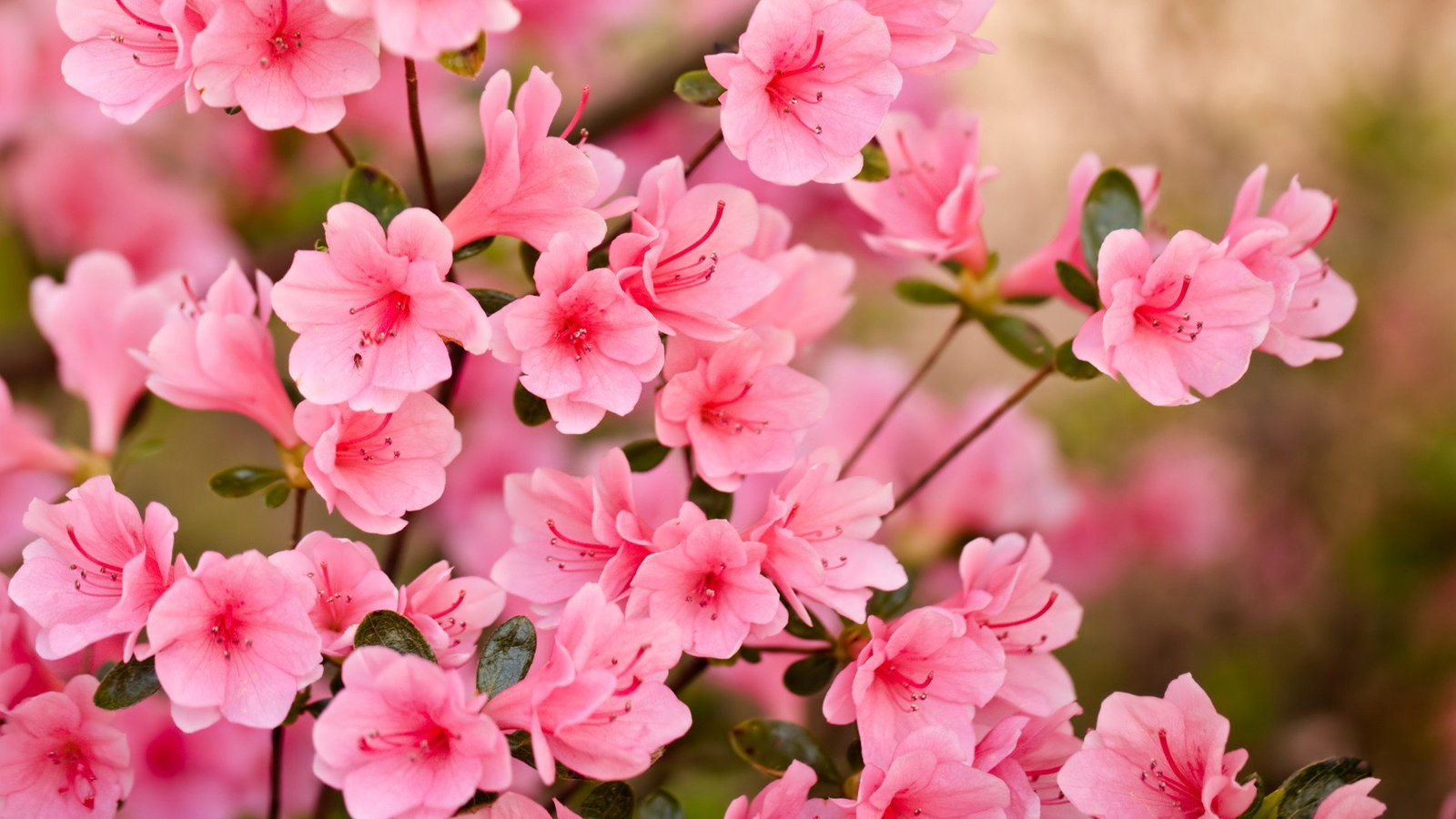 blossom-wallpaper-full-hd-333069