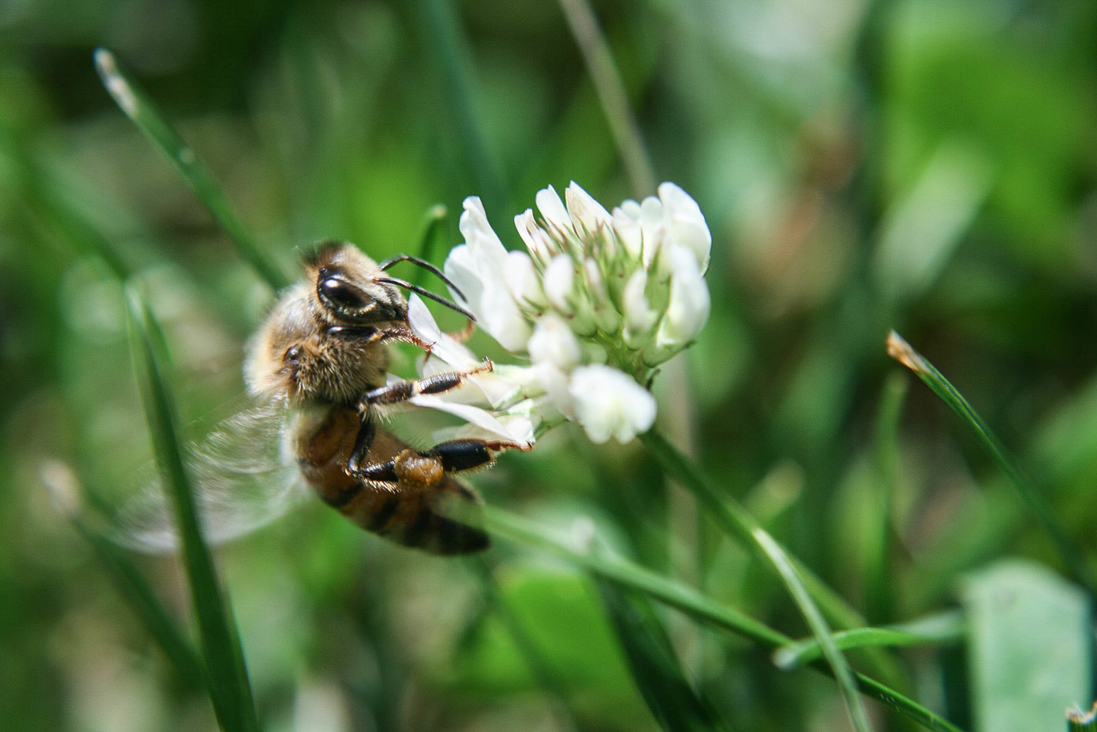 white-clover-flower-bee-park-kate-timbers-photography-982