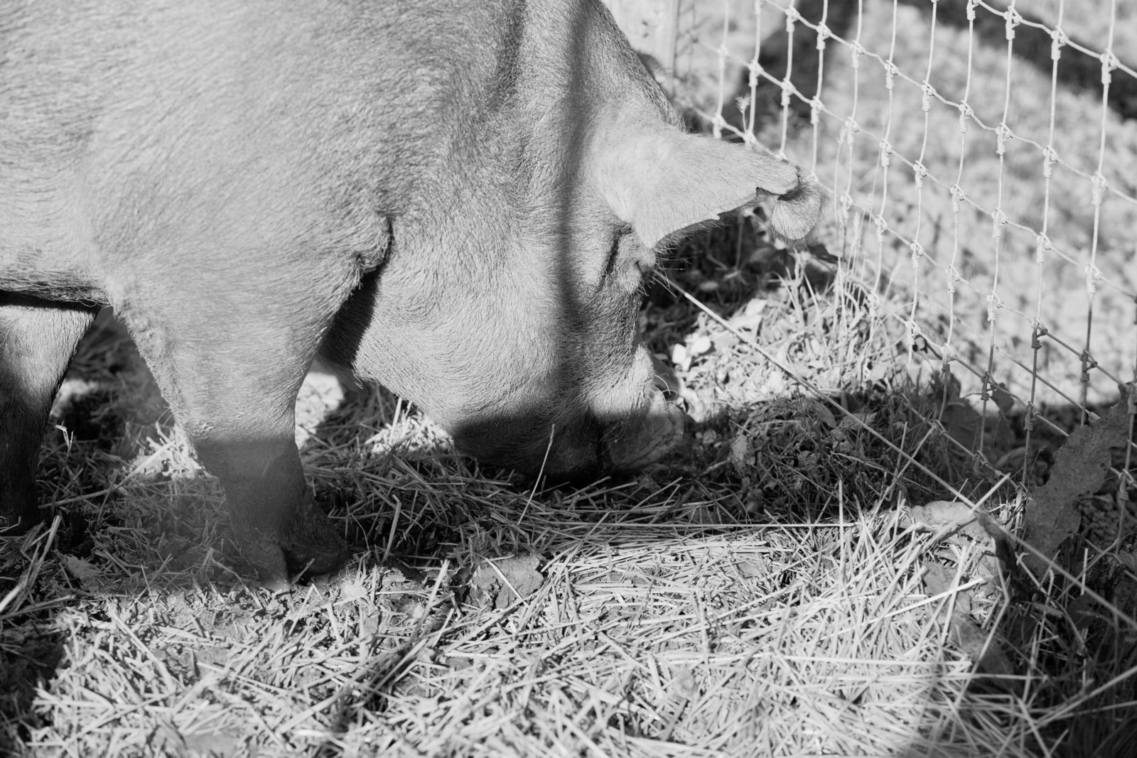 pig-hay-wyebrook-farm-honey-brook-pennsylvania-kate-timbers-photography-2148