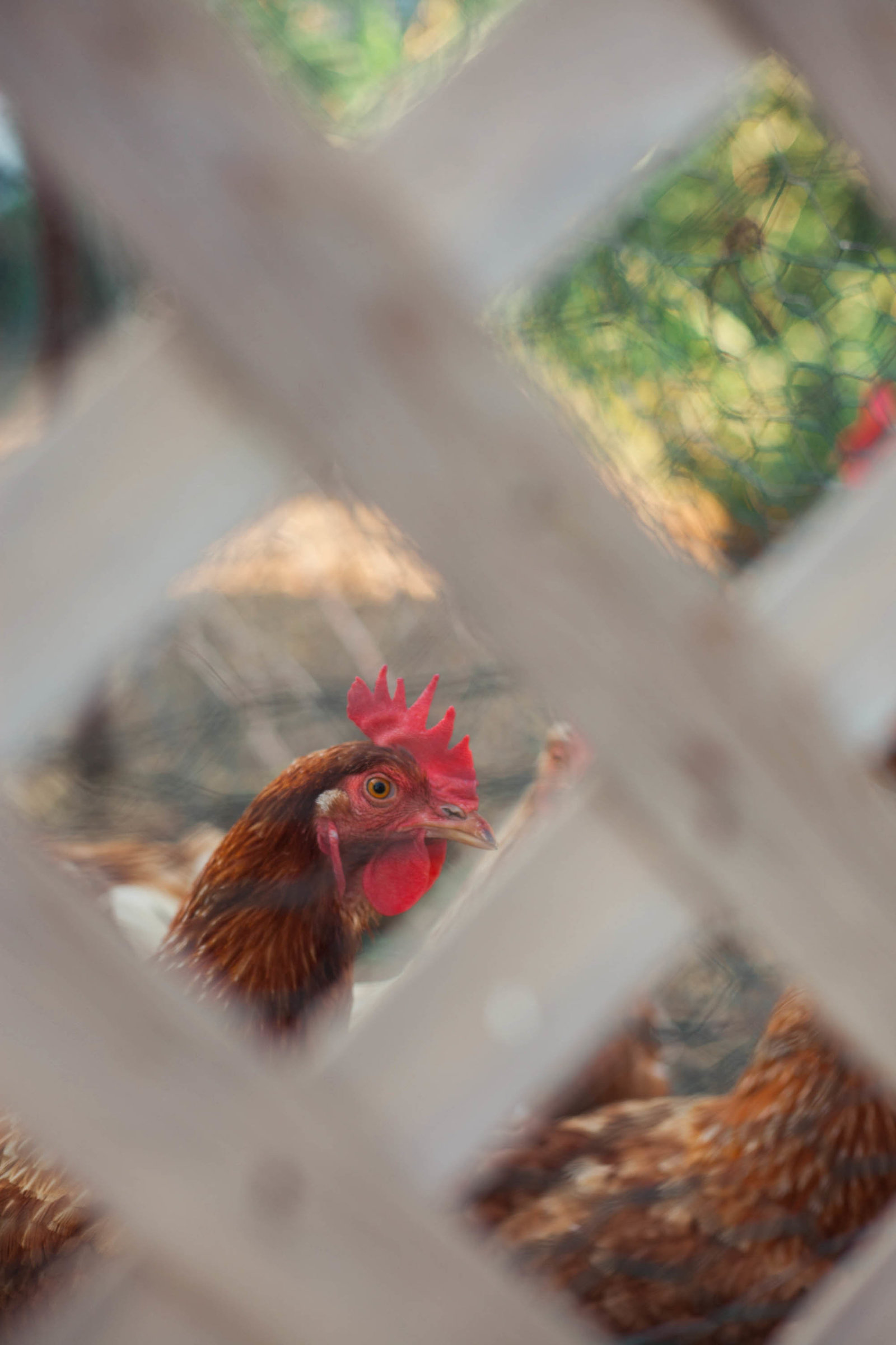 chicken-wisconsin-farm-country-nature-kate-timbers-photography-2202