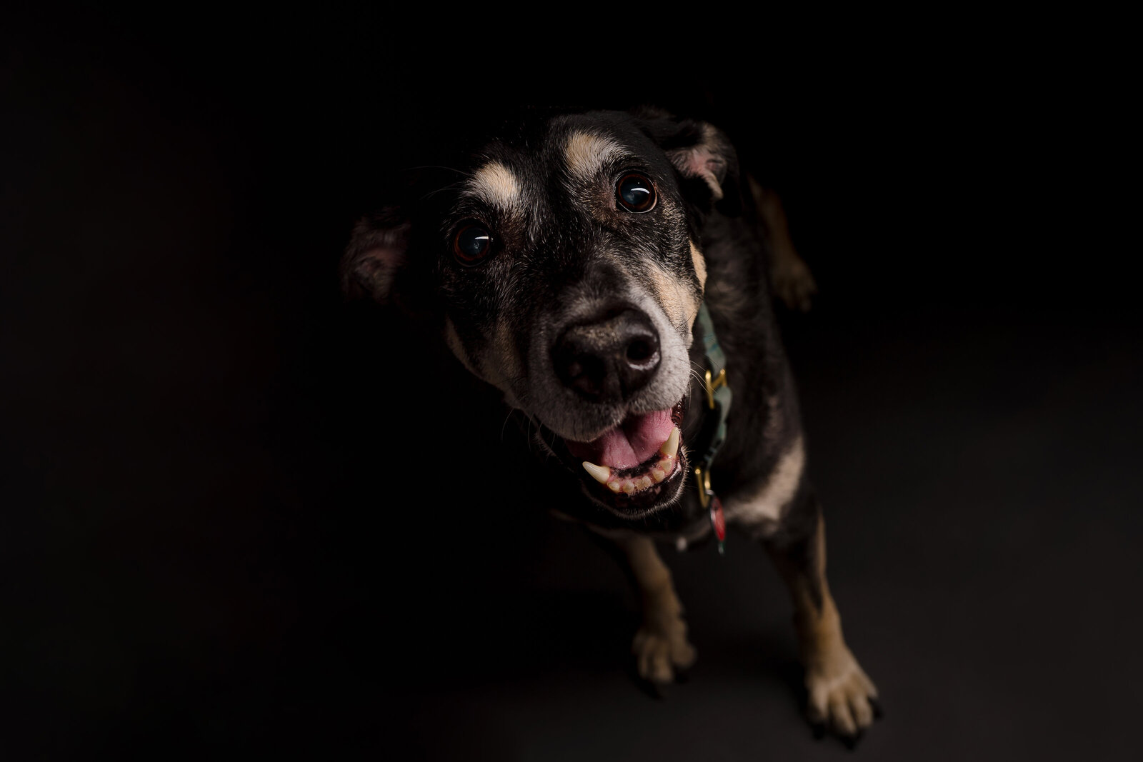 a black lab mix appears to be happy in a professional photo on a black backdrop
