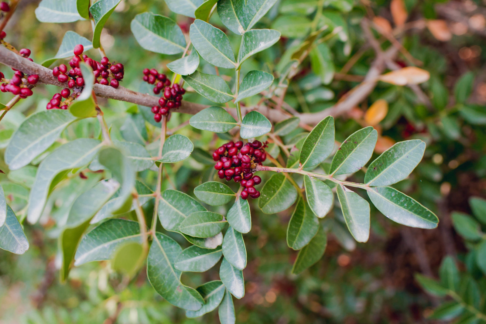 wild-red-berry-athens-greece-travel-kate-timbers-photography-871