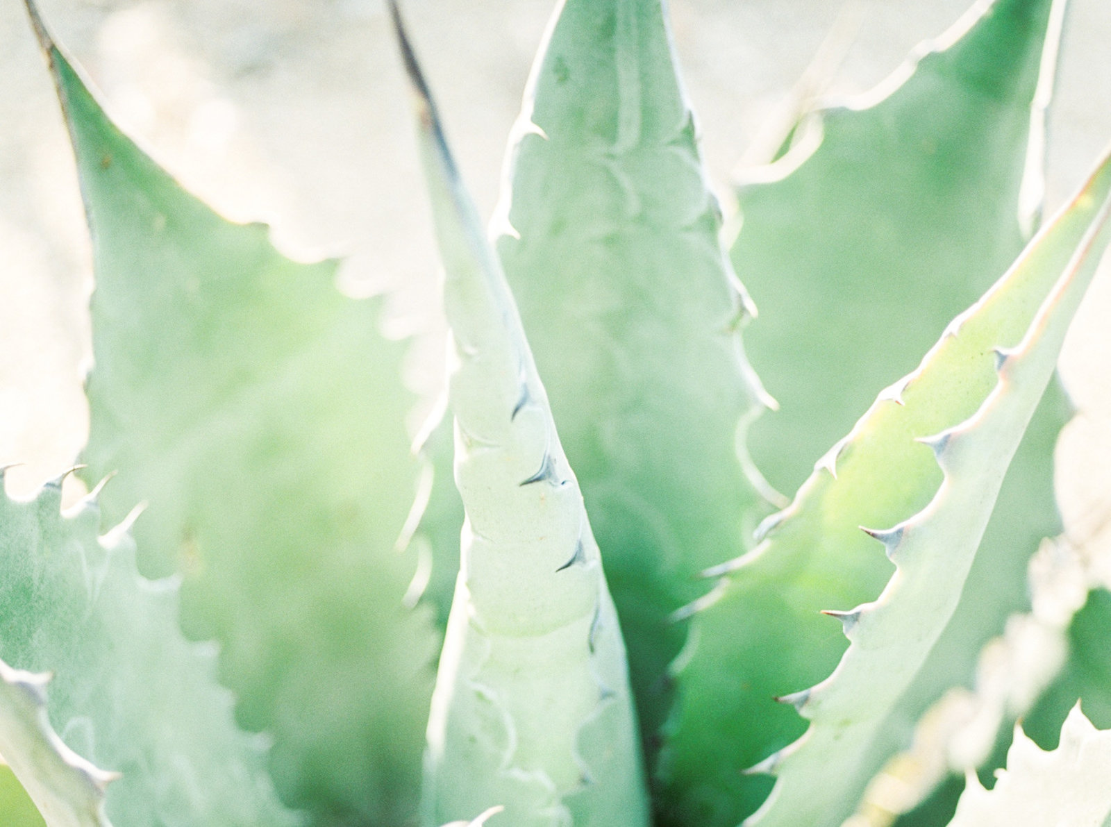 Agave Plant At Torrey Pines Wedding Venue
