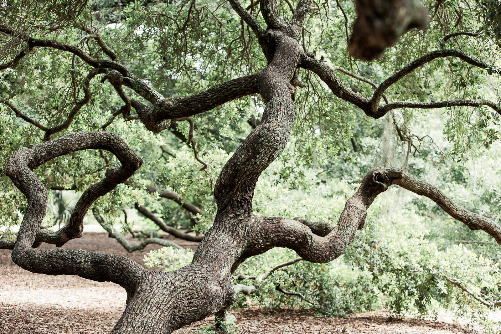 Oak tree branches, Hampton Park, Charleston, South Carolina