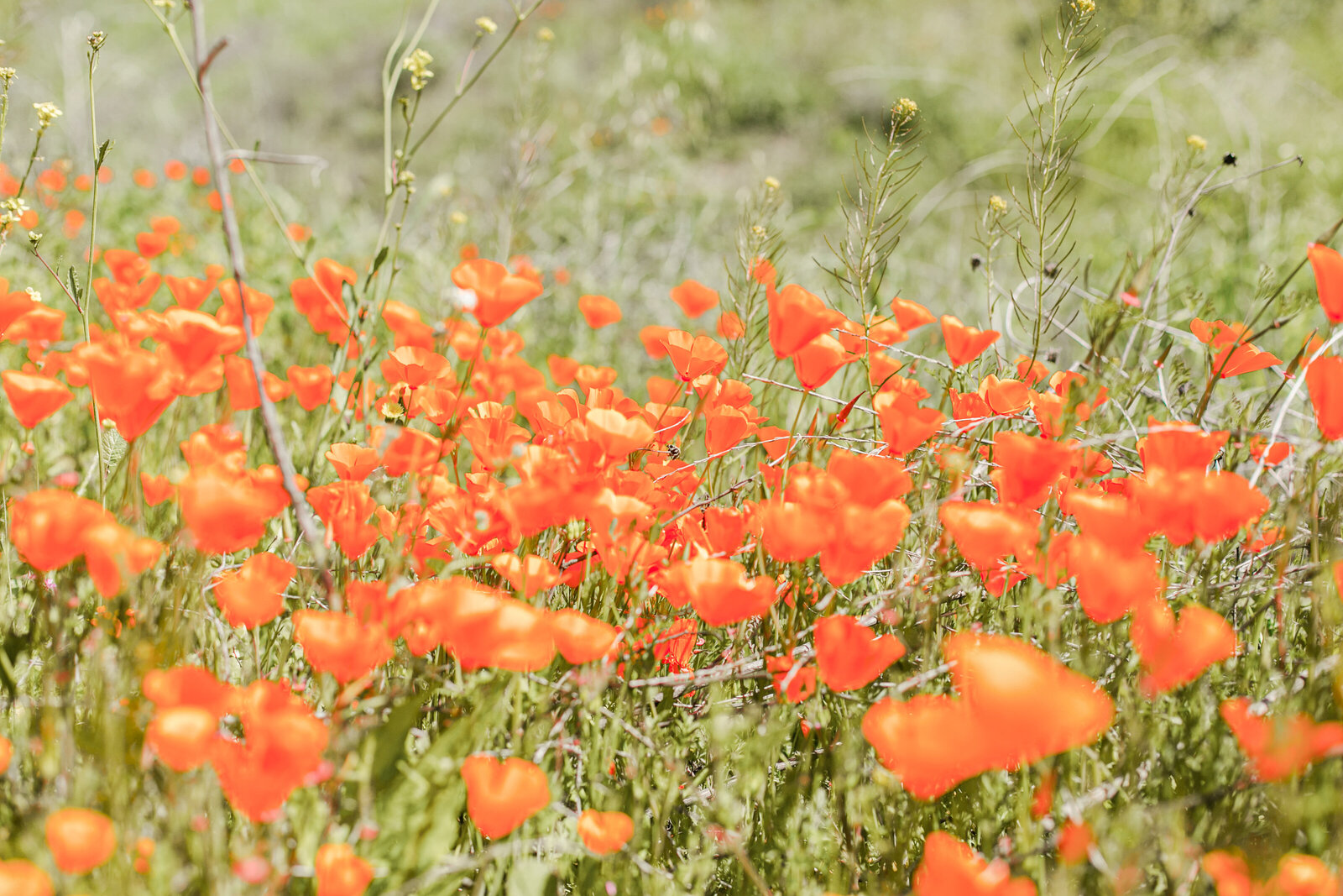 052-KBP-superbloom-Poppy-Fields-001