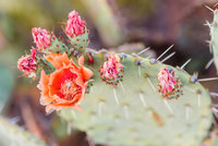 FAVORITESMarquette-LaRee-Prickly-Pear-Blossoms