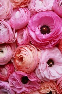 A close up arrangement of ruffled pink flowers.