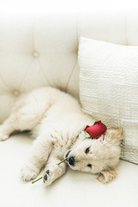 Small white Golden Retriever playing with a stemmed rose.