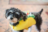A dog wearing a taco costume looks at the camera in Wauchula, Florida.