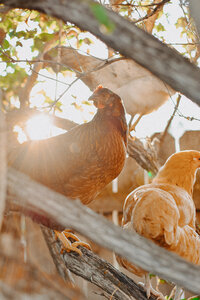 foxtails-photography-chicken-photos