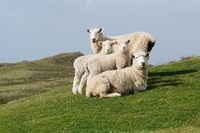 cameron-zegers-travel-photographer-new-zealand-sheep-family-portrait