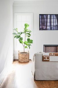 Fiddle-Leaf-Fig-3 2