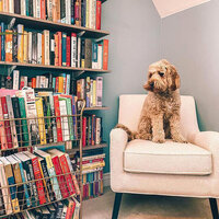 Bingley the Literary Labradoodle looking at bookshelves