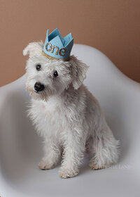 White schnoodle celebrating first birthday