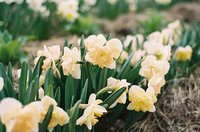 petit four daffodils blooming in a row