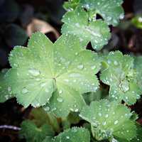 lady's mantle in the rain 1 4x4 v2