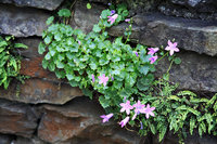 Campanula and fern in stone wall 1 v2