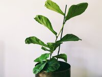 fiddle-leaf-fig_t20_ZzYE9o