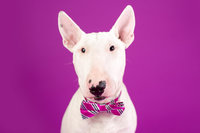 white dog in a bow tie against a magenta background