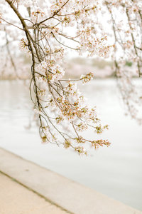 Tips to See DC Cherry Blossoms Sarah Botta Photography-27