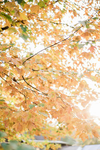 orange fall leaves with sun shining through