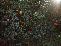 orange  grove on a summer day