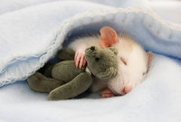 rats-with-teddy-bears-coverimage