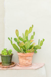 Potted Smooth Prickly Pear Cactus