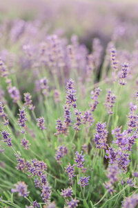 Lavender-Field-Session_Details