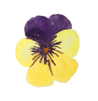 Pansy-6