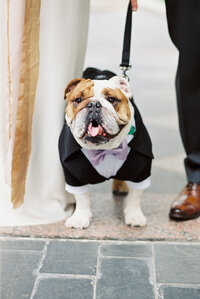 bulldog ring bearer