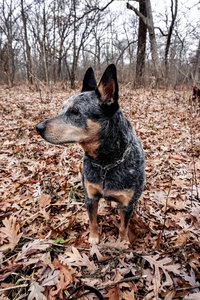Australian Cattle Dog, Axel