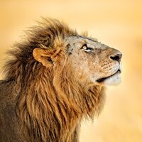 Image of a fierce lion photo on Hayley Maxwells website. Hayley is a copywriter in NZ.