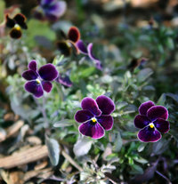Smoky Purple Violas crop