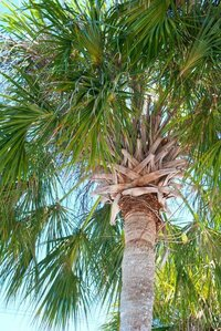 Palm tree in Fort Myers, Florida